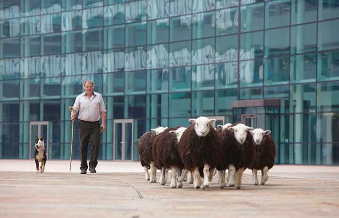 Herding sheep for Booths marketing