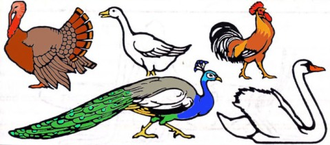 list of clean birds in Torah