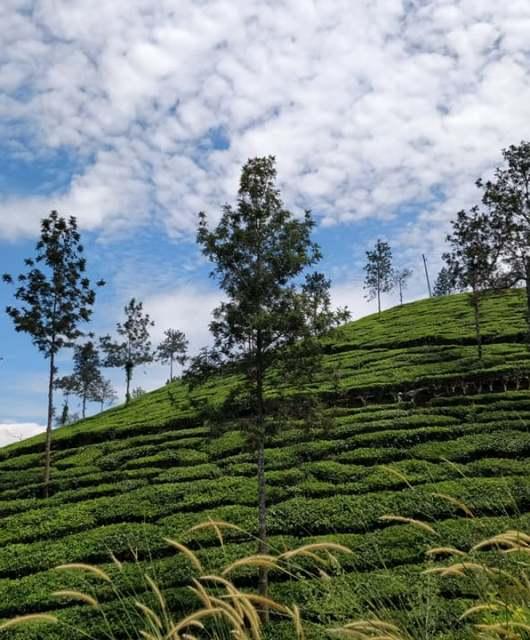 piantagioni di the nel Wayanad in India