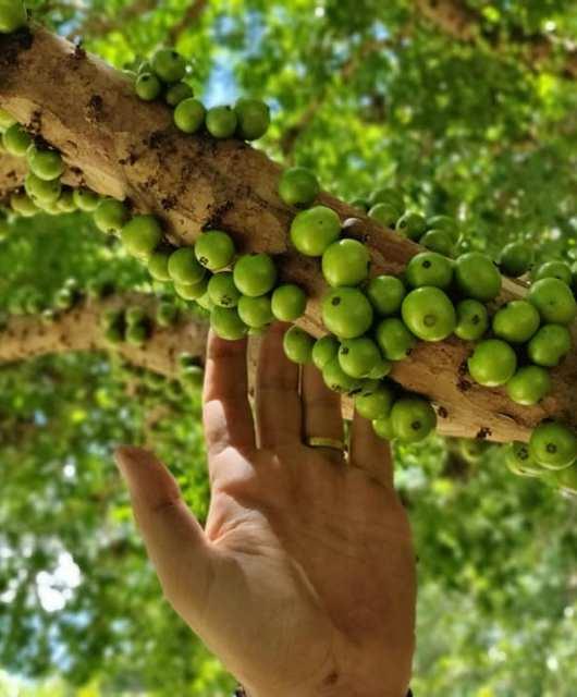 guapurù, tipico frutto delle regioni amazzoniche della Bolivia