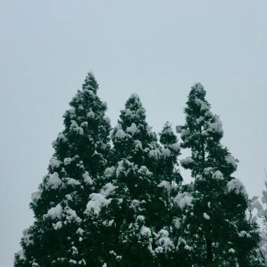 evergreen-trees