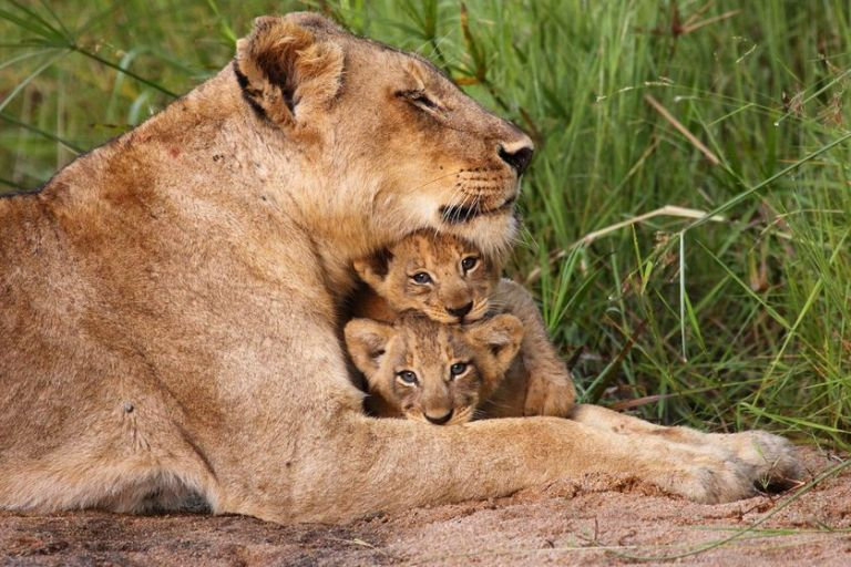 Lion and Cubs Mother Nature Network