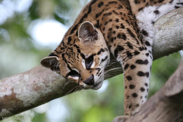 Mongabay Amazon Rainforest Cat