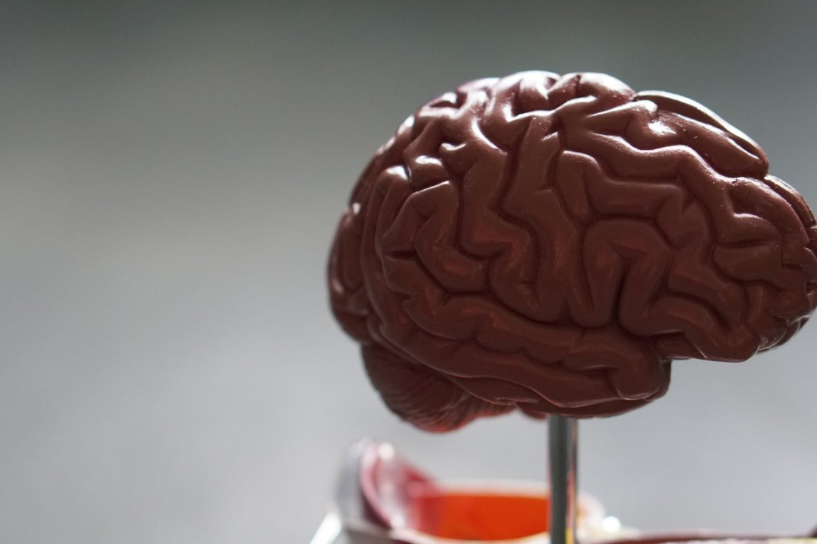 Image of a model of a brain