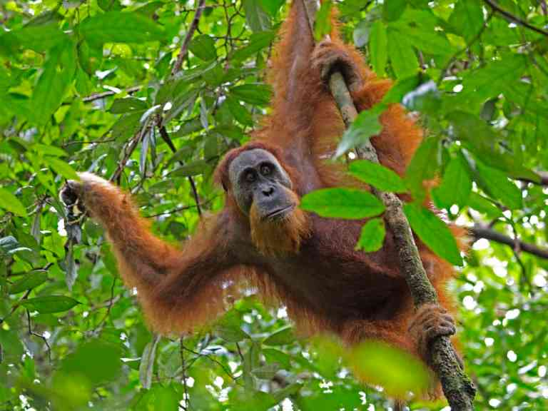 Sumatran Orangutan in the trees