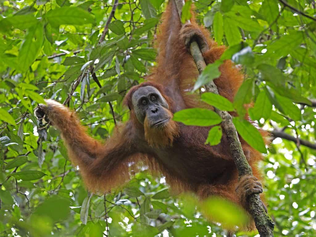 Sumatran Orangutan in the trees