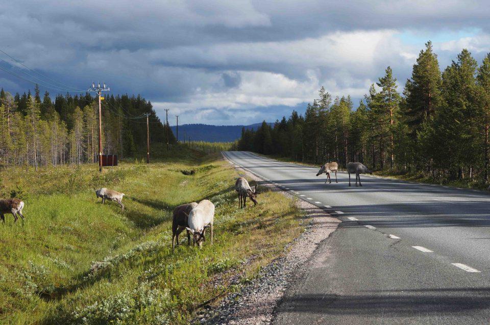 Rendieren op de weg in Zweeds Lapland