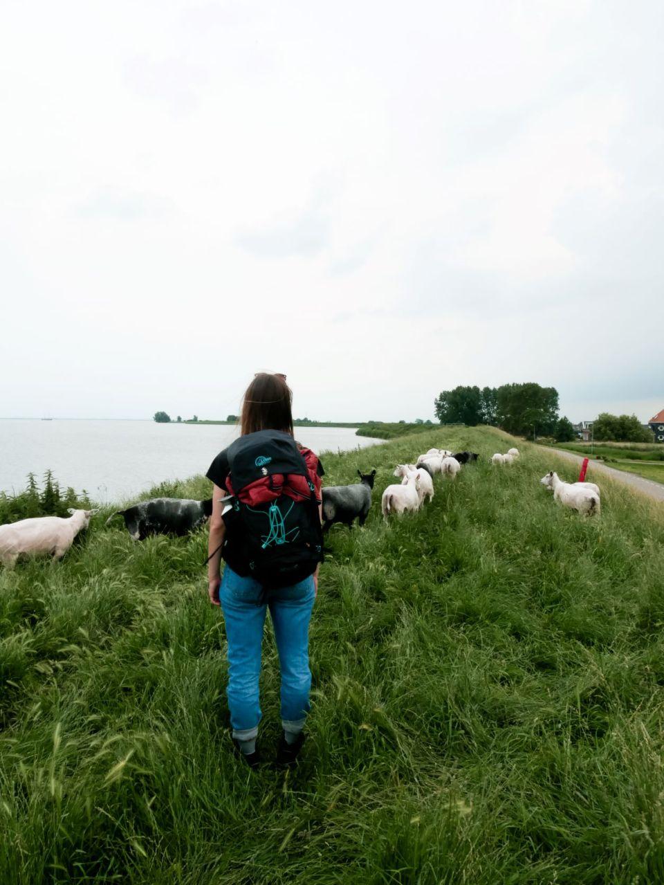 Femke en een kudde schapen op de dijk.