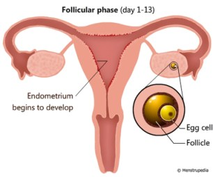 pysiology-menstrual-follicular-phase