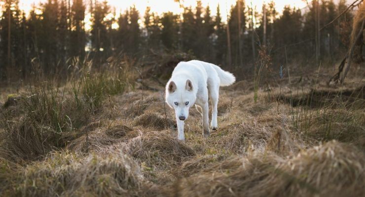 a white wolf stalks towards the camera, walking through a field of hummocky dead grass.