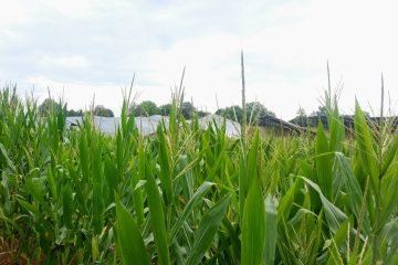 Solar panels in a cornfield