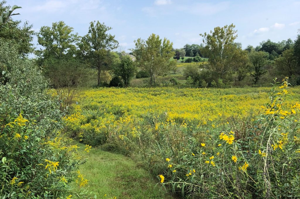 A mowed path winds through a meadow of waist-high grass and yellow flowers.