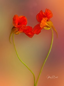 Two nasturtium flowers coming together to form a heart shape.