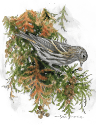 A Pine siskin in an arborvitae branch. drawing.