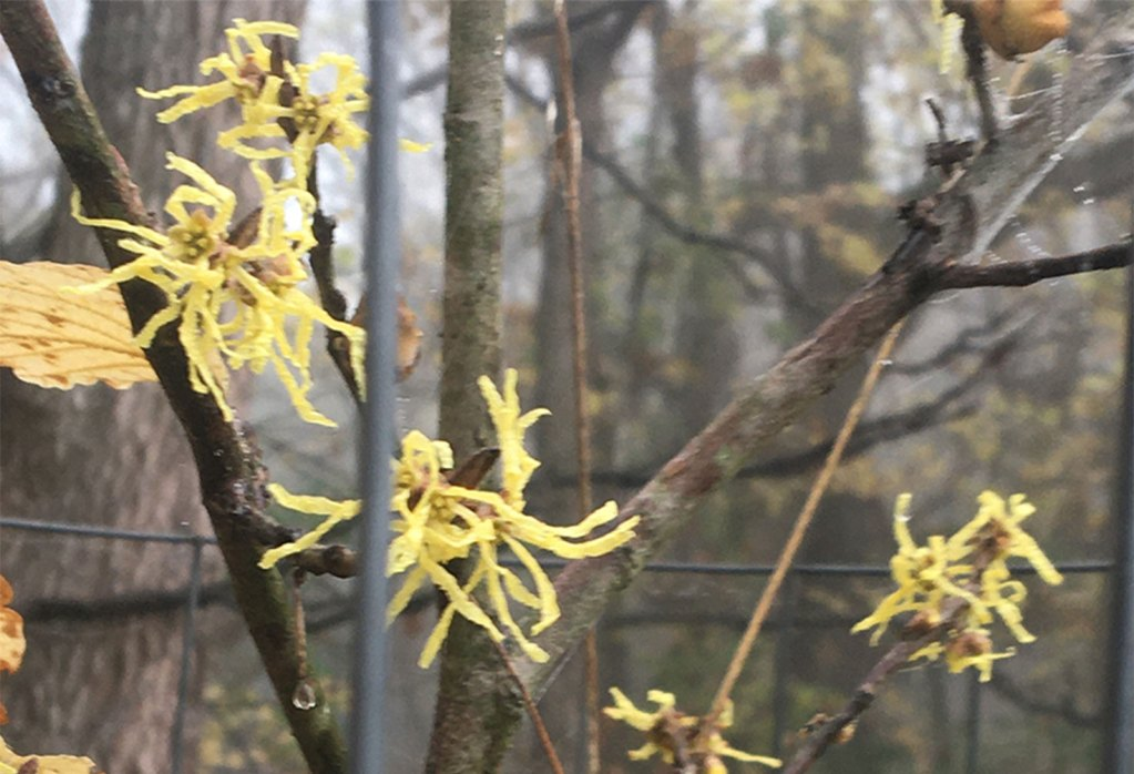 Photo of witch hazel flowers in bloom. Photo Credit Doug Pifer.