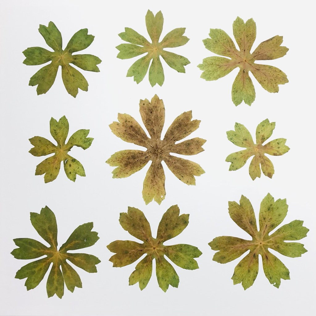 The NINE MAYAPPLES highlights the unique shape of the deeply lobed leaves and also references Pop art with a nod to Warhol's Flowers series from 1964.