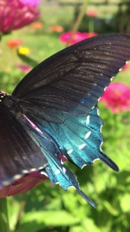 The iridescent wings of a pipevine swallowtail butterfly.