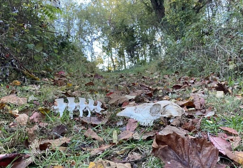An animal skull and vertebrae on a leafy forest floor.