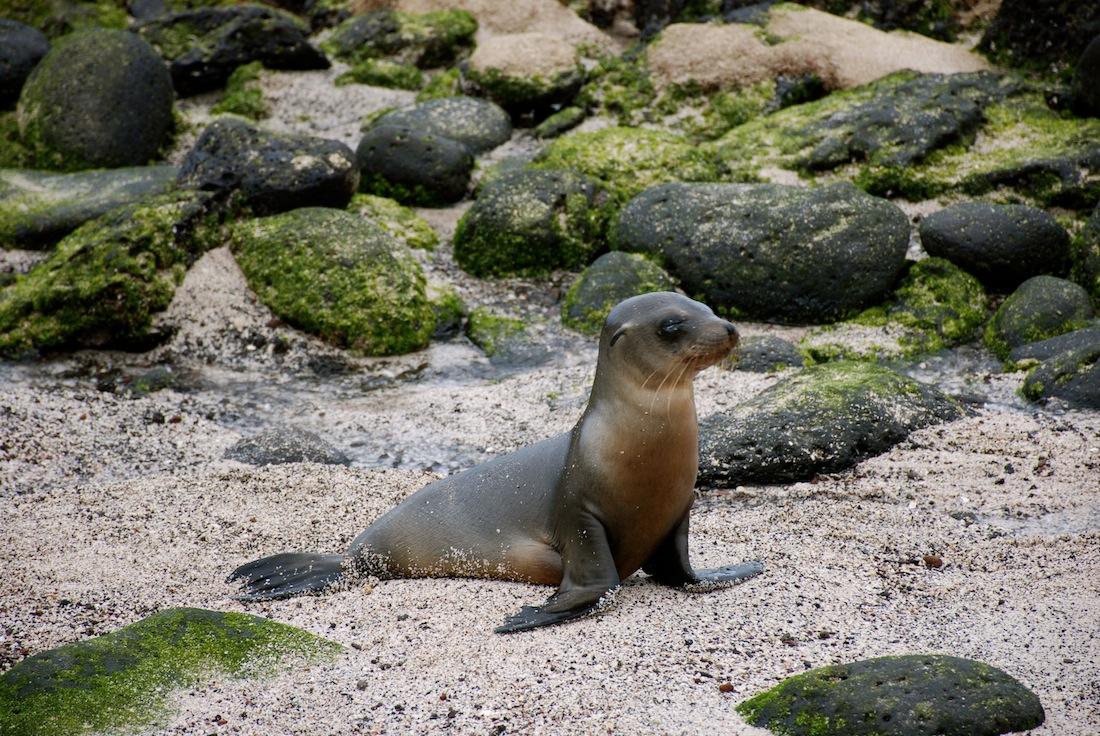 galapagos-baby-seal