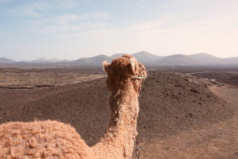 Lanzarote-Camel