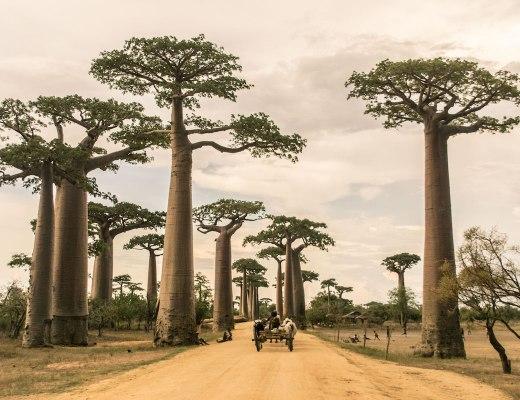 Madagascar-Morondava-Baobabs