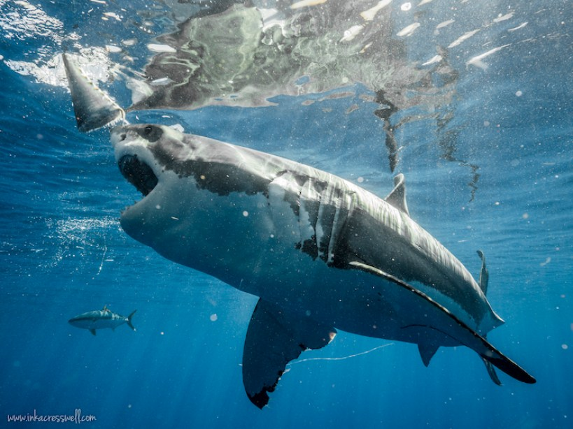 9 Reasons Diving With Great White Sharks In Guadalupe Should Be On Your Bucket List