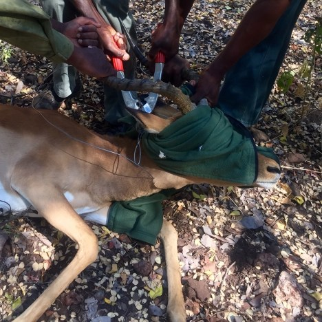 Two snared animals darted and treated in joint operation