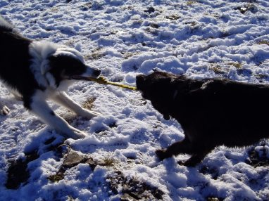 Tug of war in the snow