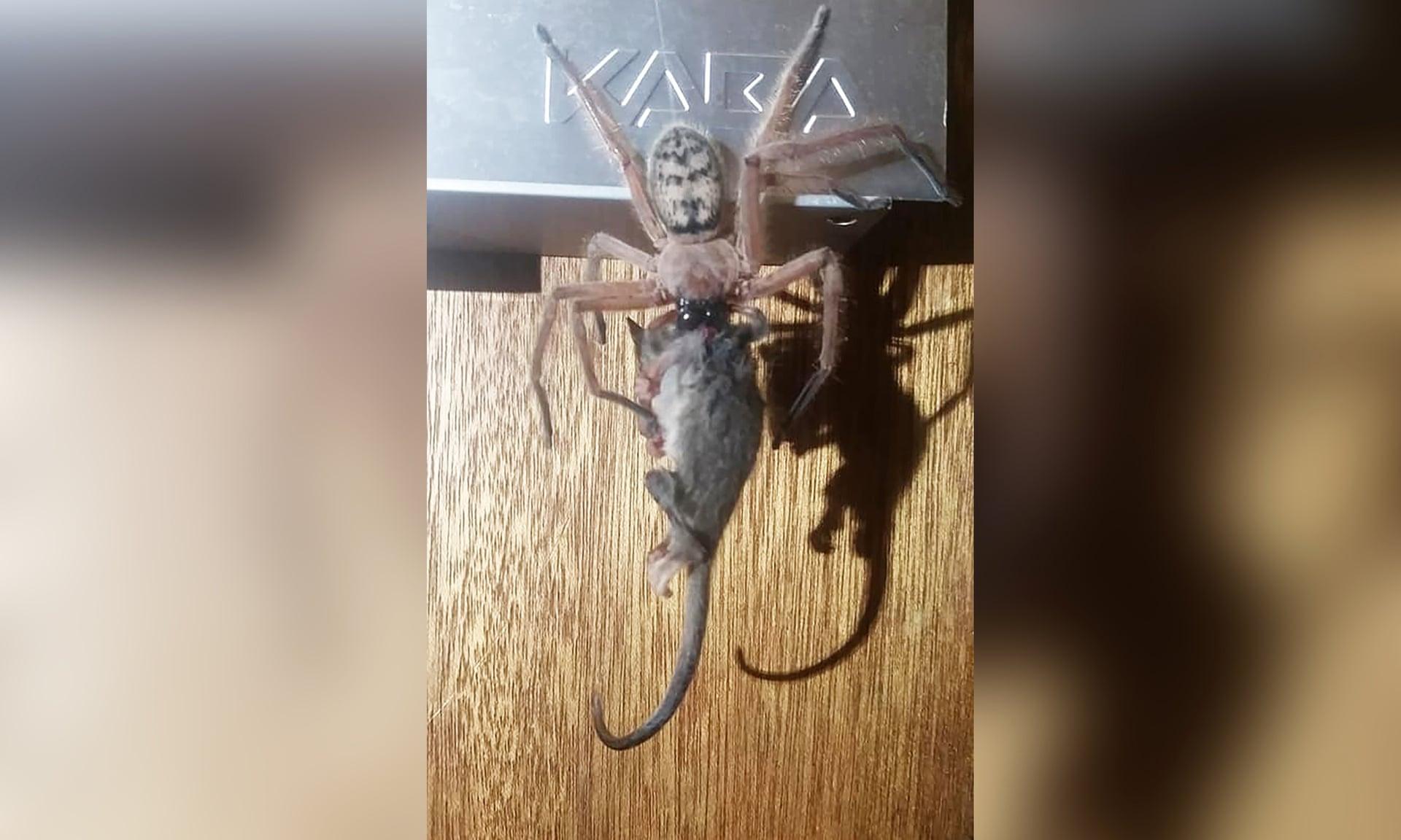 'Episken foto': jachtkrabspinne eat dwargbüdelmuus in Australie