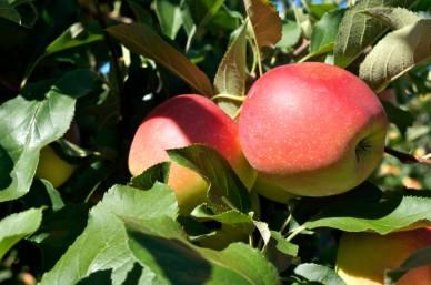 fresh_apples