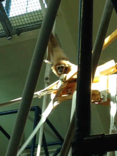 ^^ This was the Momma monkey, who did have a baby strapped to her chest, although it's hard to see in this photo.