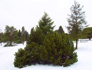 group of Evergreen trees in the winter