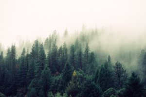 A forest in a mist