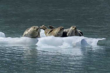seals on a small iceberg