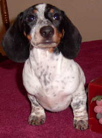 Black And White Piebald Dachshund : black, white, piebald, dachshund, Dachshunds, Patterns, Colors