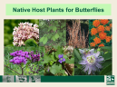 Native Hosts for Butterflies