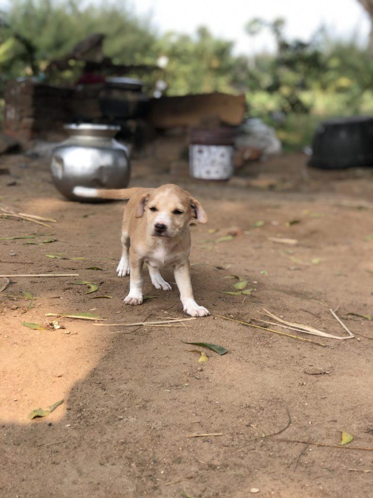 Puppies In Vizianagaram
