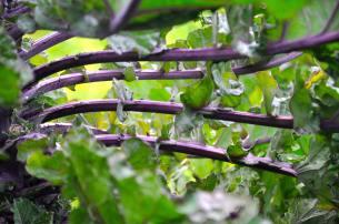Kale stalks