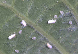 whitefly, common house plant pest