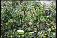 Fruiting Apple Tree