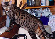 Bengal Cats - Pictures