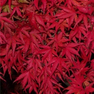 Kamagata autumn colour 300x300 A suitable Japanese maple for growing in a pot