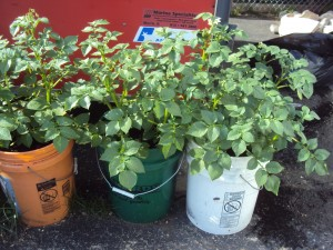 Growing Potatoes In A Bucket