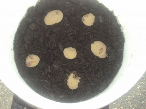 Planting The Potatoes