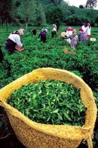 çayın sağlığa etkisi