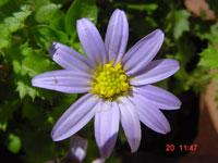 Garuleum sonchifolium (Garuleum)