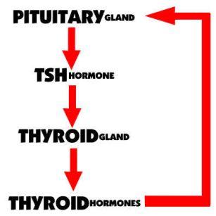 TSH and Thyroid