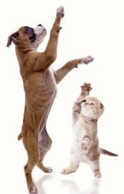 Boxer Dog and Scottish Fold Cat