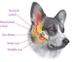 eardiagram