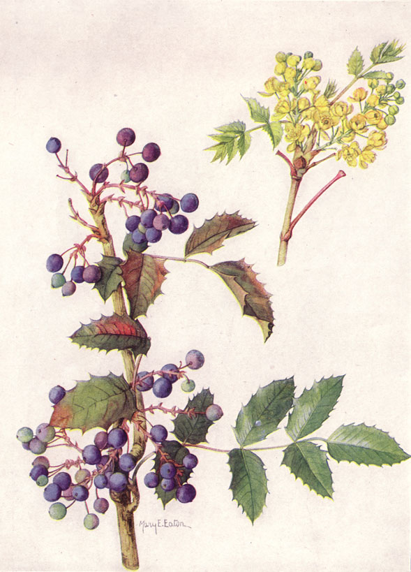 Oregon_Grape_(NGM_XXXI_p515)